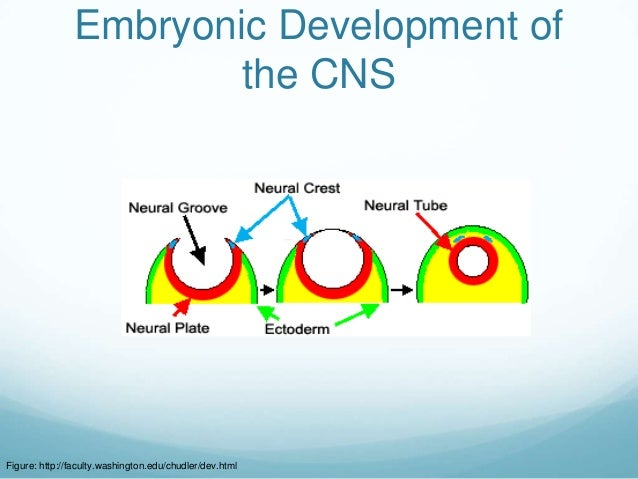 Embryonic Development of                       the CNSFigure: http://faculty.washington.edu/chudler/dev.html