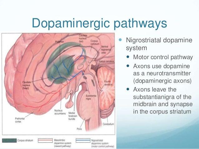 Dopaminergic pathways              Nigrostriatal dopamine               system                Motor control pathway     ...