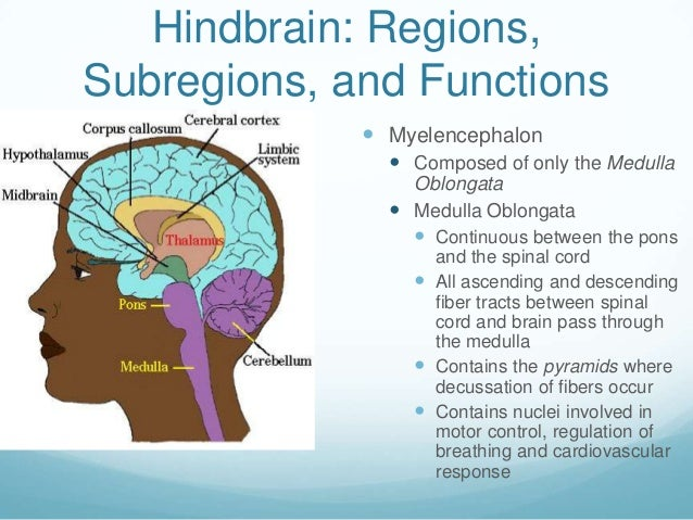 Hindbrain: Regions,Subregions, and Functions              Myelencephalon                Composed of only the Medulla    ...