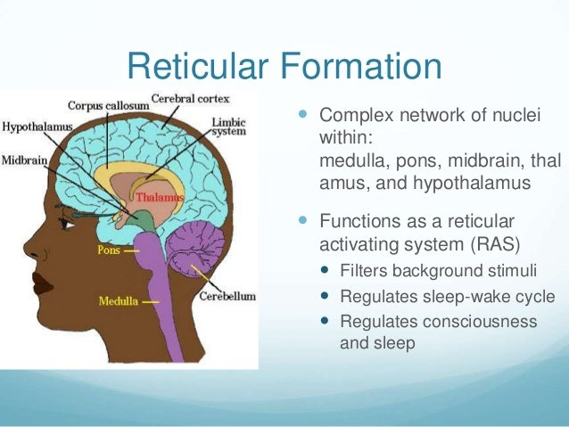 Reticular Formation           Complex network of nuclei            within:            medulla, pons, midbrain, thal      ...