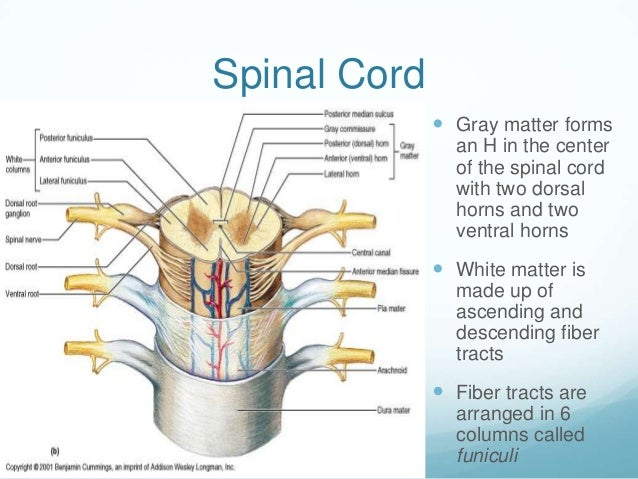 Spinal Cord               Gray matter forms                an H in the center                of the spinal cord          ...