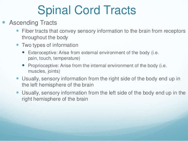 Spinal Cord Tracts Ascending Tracts     Fiber tracts that convey sensory information to the brain from receptors      th...