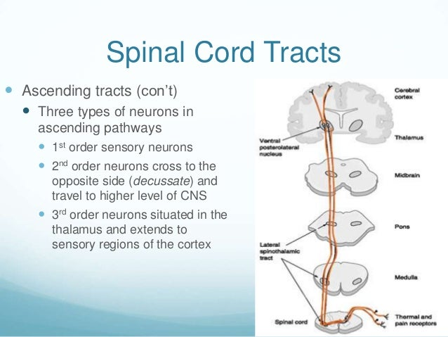 Spinal Cord Tracts Ascending tracts (con't)   Three types of neurons in     ascending pathways      1st order sensory n...