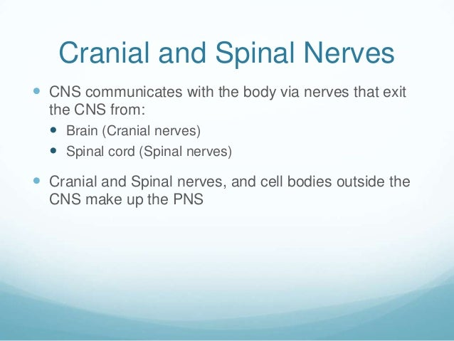 Cranial and Spinal Nerves CNS communicates with the body via nerves that exit  the CNS from:   Brain (Cranial nerves)  ...