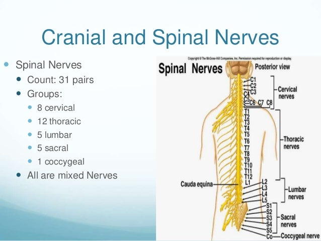 Cranial and Spinal Nerves Spinal Nerves   Count: 31 pairs   Groups:     8 cervical     12 thoracic     5 lumbar    ...