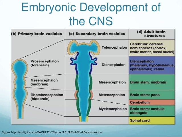 Embryonic Development of                      the CNSFigure: http://faculty.irsc.edu/FACULTY/TFischer/AP1/AP%201%20resourc...