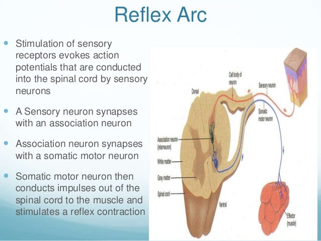 Reflex Arc Stimulation of sensory  receptors evokes action  potentials that are conducted  into the spinal cord by sensor...