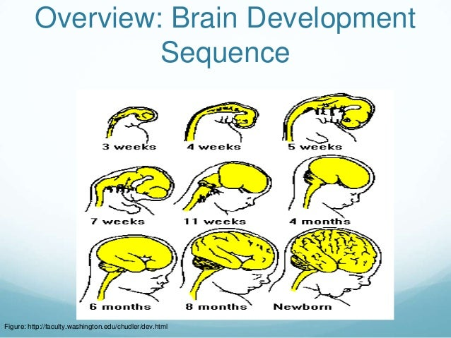 Overview: Brain Development                   SequenceFigure: http://faculty.washington.edu/chudler/dev.html