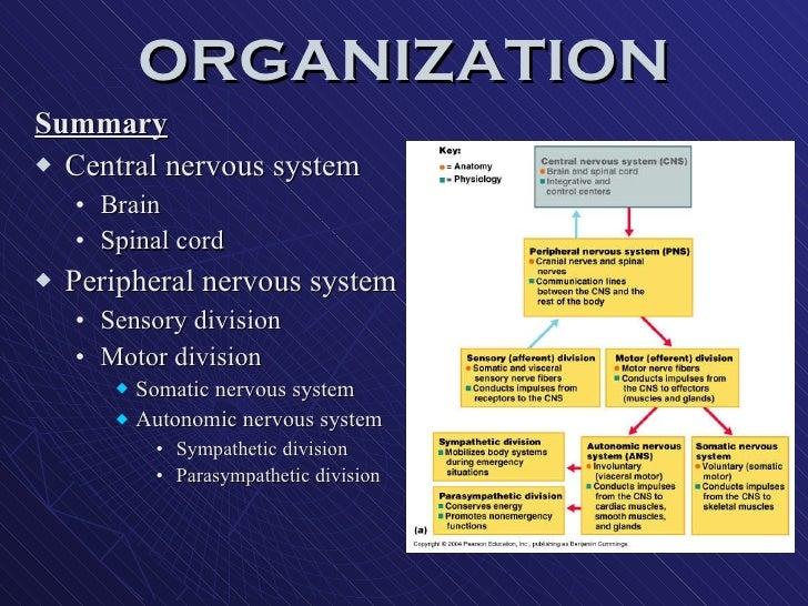 ORGANIZATION <ul><li>Summary </li></ul><ul><li>Central nervous system </li></ul><ul><ul><li>Brain </li></ul></ul><ul><ul><...