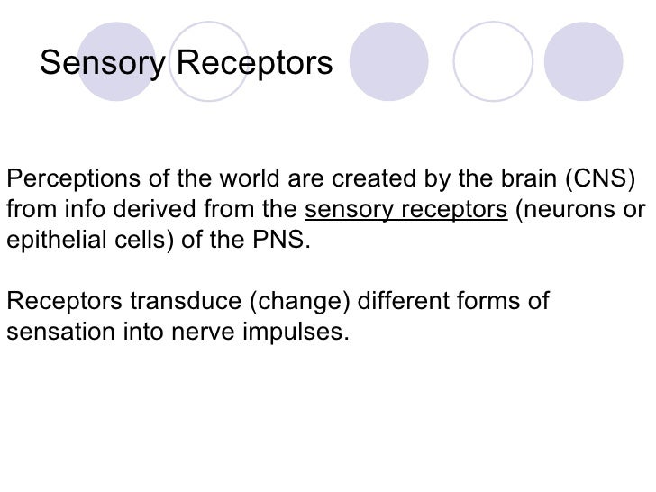 Sensory Receptors  Perceptions of the world are created by the brain (CNS) from info derived from the  sensory receptors  ...