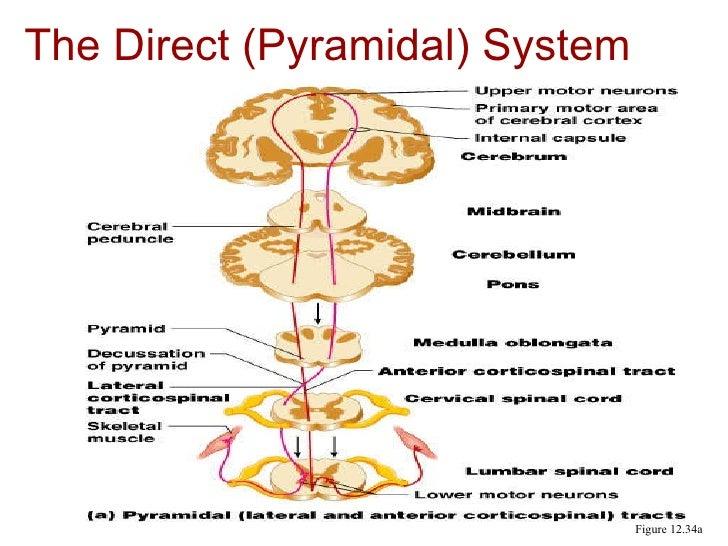 Extrapyramidal system