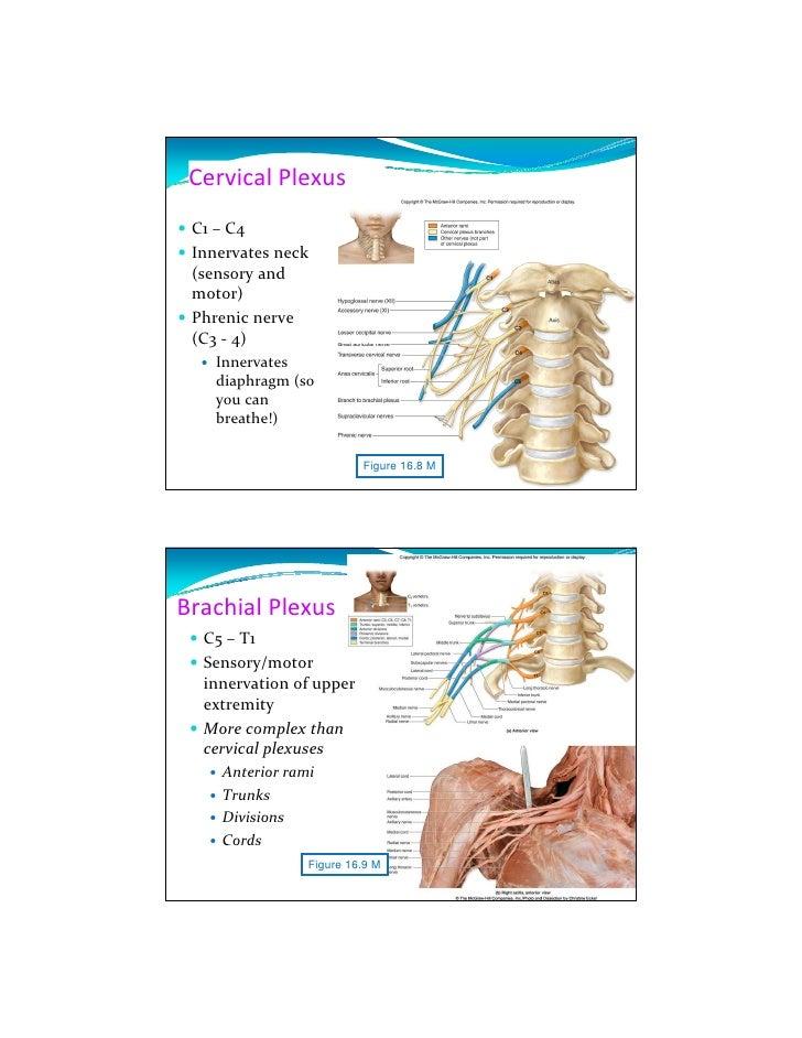 Cns Anatomy Slides