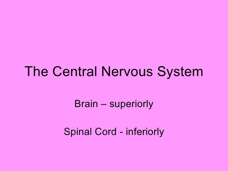 The Central Nervous System Brain – superiorly Spinal Cord - inferiorly