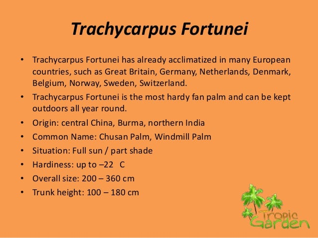 Trachycarpus Fortunei• Trachycarpus Fortunei has already acclimatized in many European  countries, such as Great Britain, ...