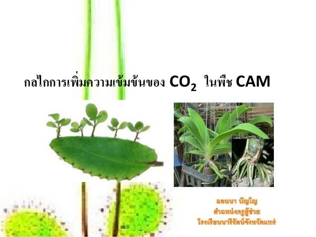 กลไกการเพิมความเข้ มข้ นของ CO2 ในพืช CAM          ่