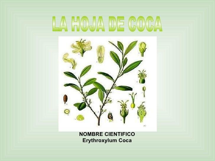 LA HOJA DE COCA NOMBRE CIENTIFICO Erythroxylum Coca