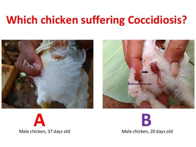 A BMale chicken, 37 days old Male chicken, 20 days old Which chicken suffering Coccidiosis?