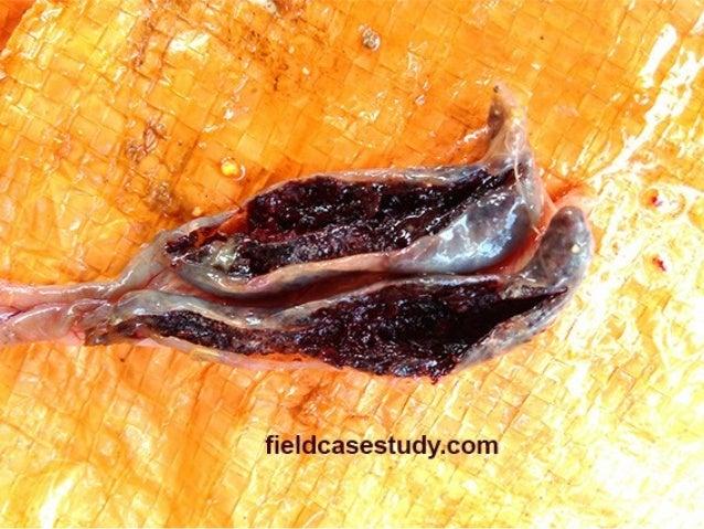 Coccidiosis, symptoms, eimeria tenella