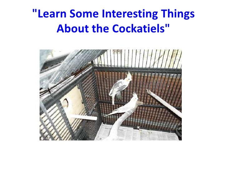"""Learn Some Interesting Things    About the Cockatiels"""