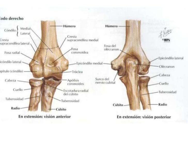 Magnífico Anatomía Del Codo Fotos Ilustración - Anatomía de Las ...