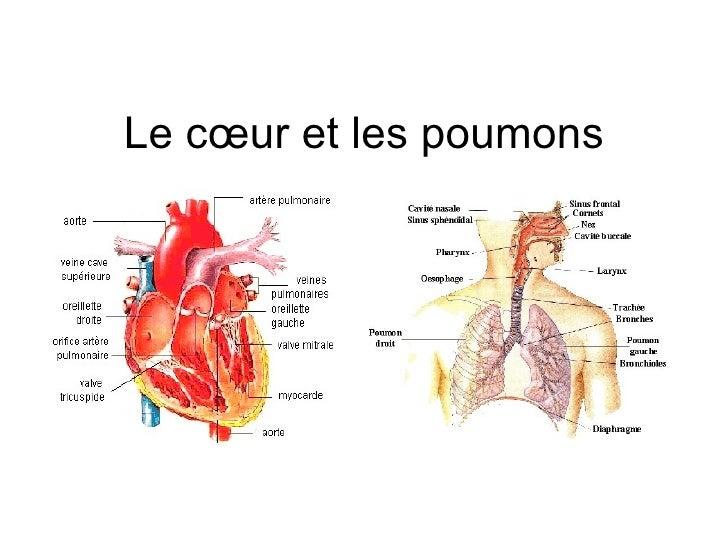 Le cœur et les poumons