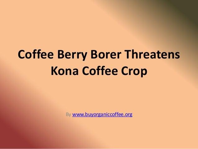Coffee Berry Borer Threatens     Kona Coffee Crop        By www.buyorganiccoffee.org