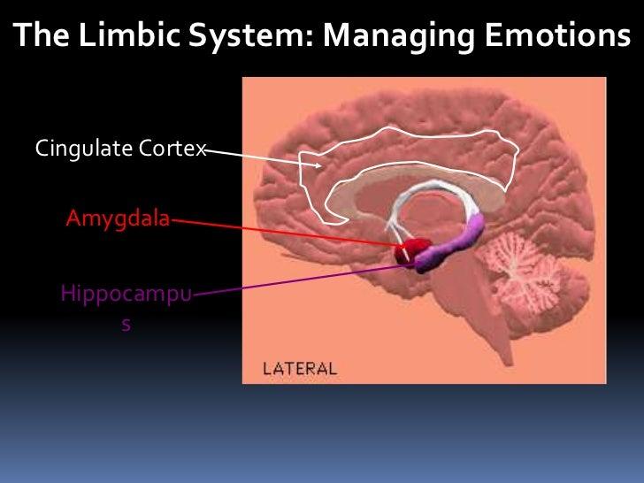 The Limbic System: Managing Emotions<br />Cingulate Cortex<br />Amygdala<br />Hippocampus<br />