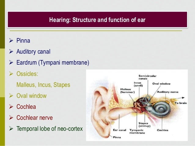 Hearing: Structure and function of ear  Pinna  Auditory canal  Eardrum (Tympani membrane)  Ossicles: Malleus, Incus, S...