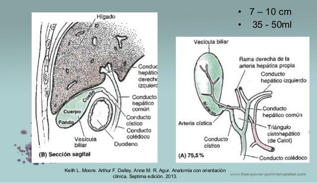 • 7 – 10 cm • 35 - 50ml Keith L. Moore. Arthur F. Dalley. Anne M. R. Agur. Anatomia con orientación clínica. Septima edici...