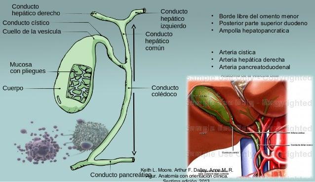 Keith L. Moore. Arthur F. Dalley. Anne M. R. Agur. Anatomía con orientación clínica. • Borde libre del omento menor • Post...