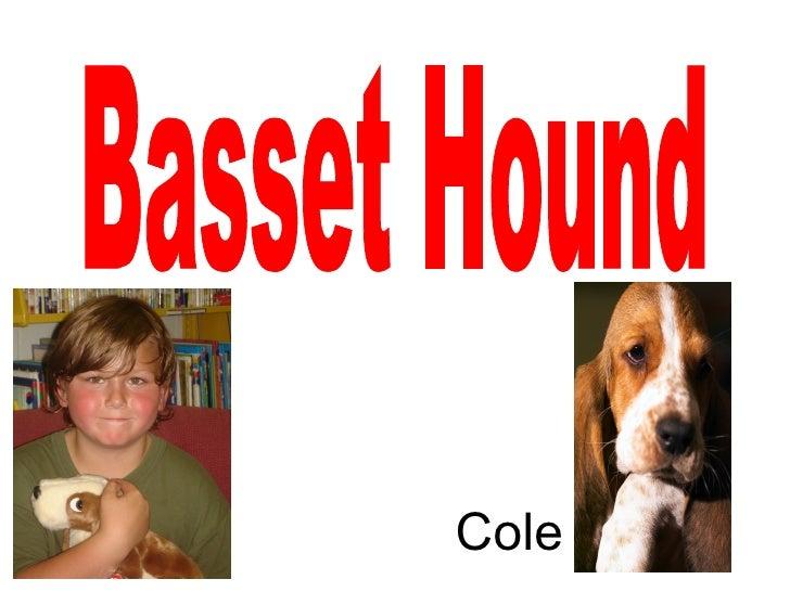 Basset Hound Cole