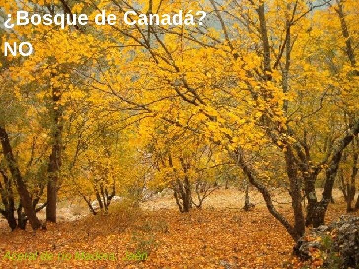 ¿Bosque de Canadá? Aceral de río Madera, Jaén.  NO