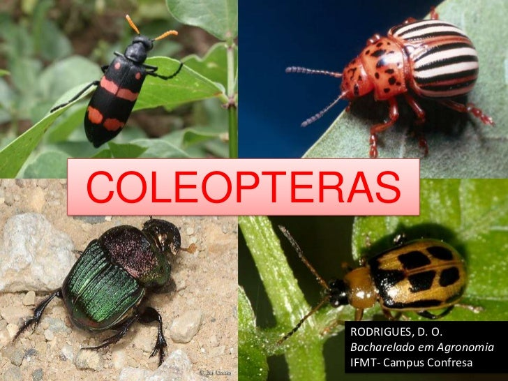 COLEOPTERAS         RODRIGUES, D. O.         Bacharelado em Agronomia         IFMT- Campus Confresa