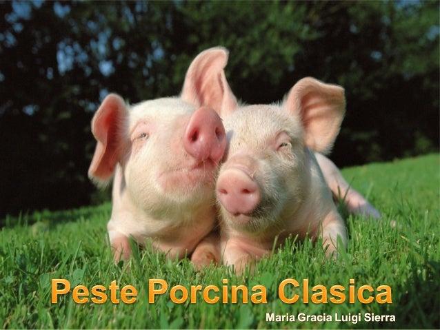 Enfermedad vírica de carácter hemorrágico muy contagiosa. Afecta exclusivamente a cerdos domesticos y salvajes. Sinonimia:...