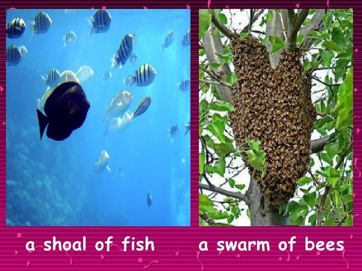 <ul><li>a shoal of fish  a swarm of bees </li></ul>