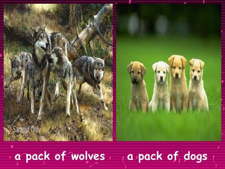 <ul><li>a pack of wolves  a pack of dogs </li></ul>