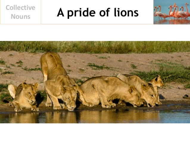 A pride of lions Collective Nouns