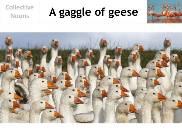 A gaggle of geese Collective Nouns