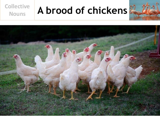 A brood of chickens Collective Nouns