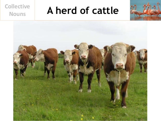 A herd of cattle Collective Nouns