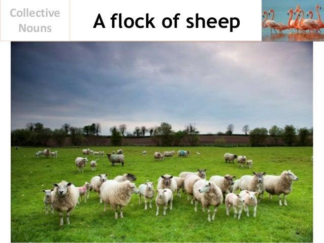 A flock of sheep Collective Nouns