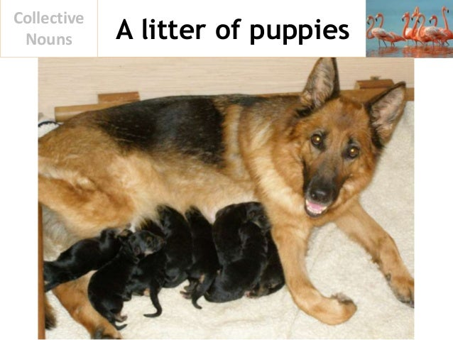 A litter of puppies Collective Nouns