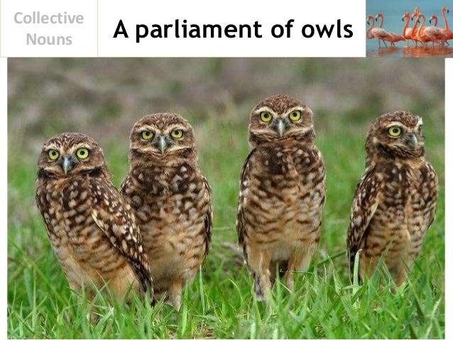 A parliament of owls Collective Nouns