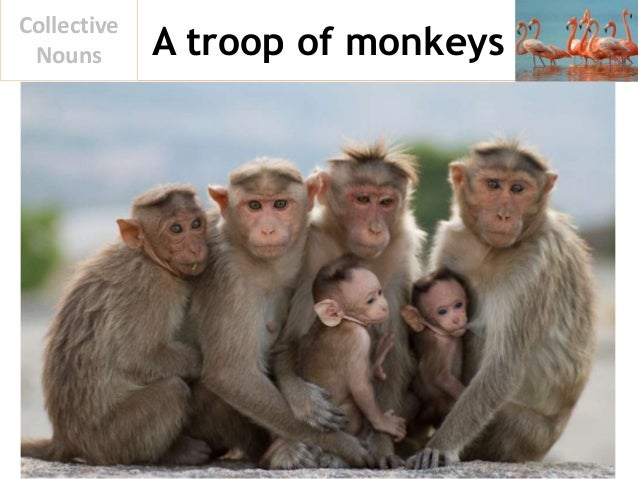 A troop of monkeys Collective Nouns