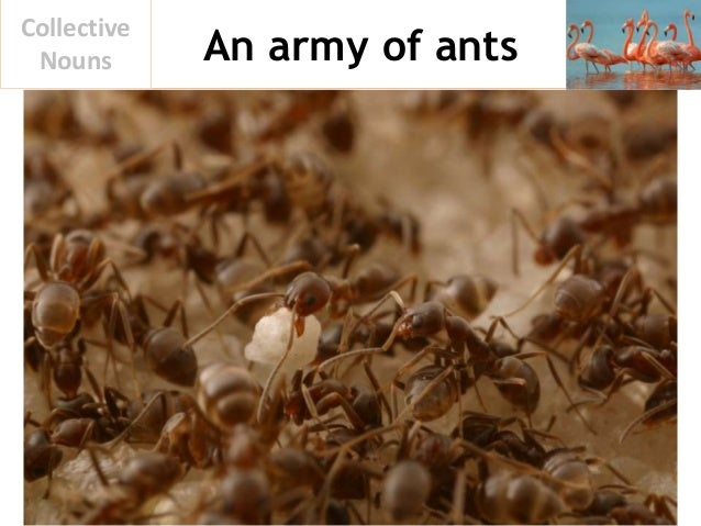 An army of ants Collective Nouns