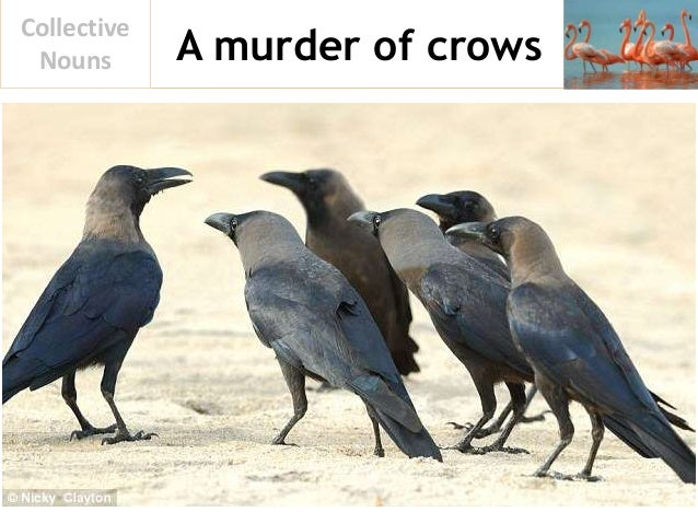A murder of crows Collective Nouns