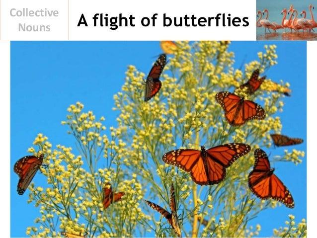A flight of butterflies Collective Nouns