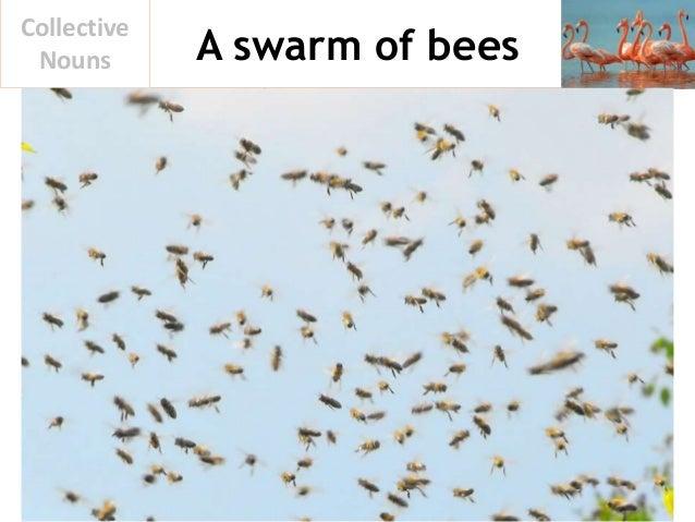 A swarm of bees Collective Nouns