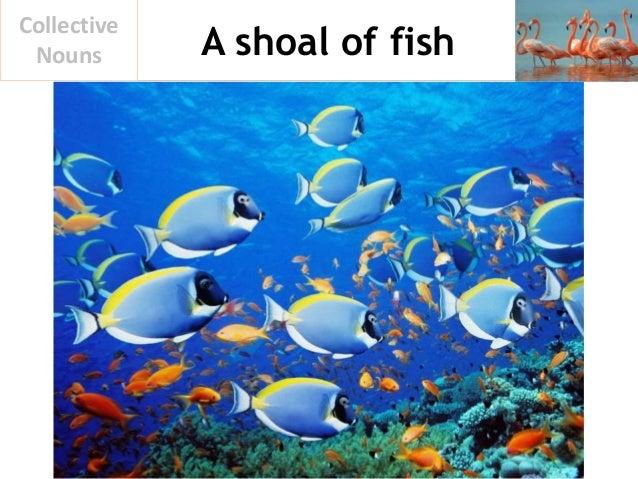 A shoal of fish Collective Nouns