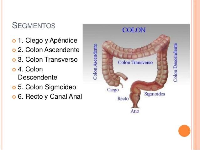 Anatomía del Intestino Grueso